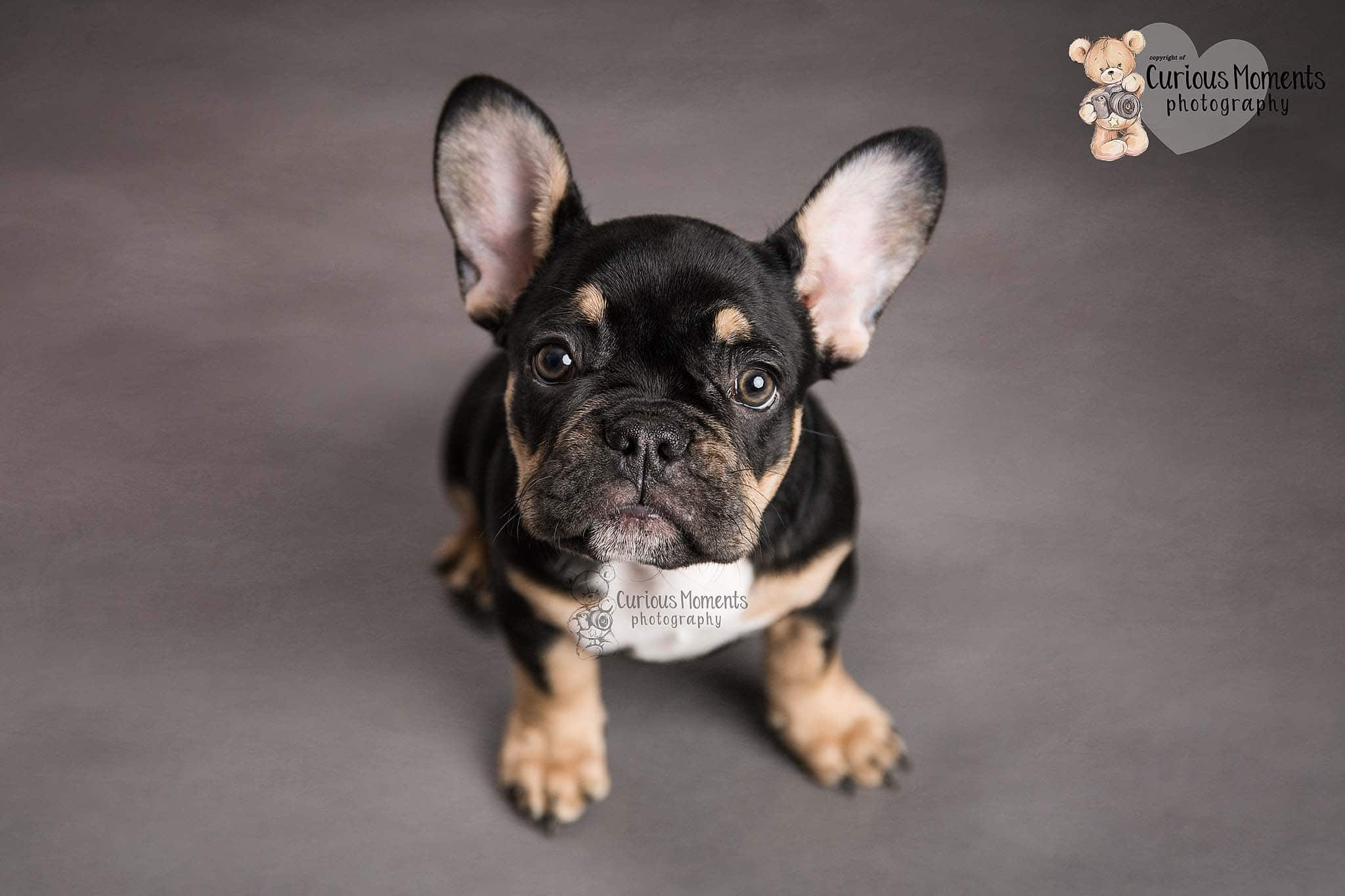 Black tan and white french bulldog puppy sat on grey background for photo shoot