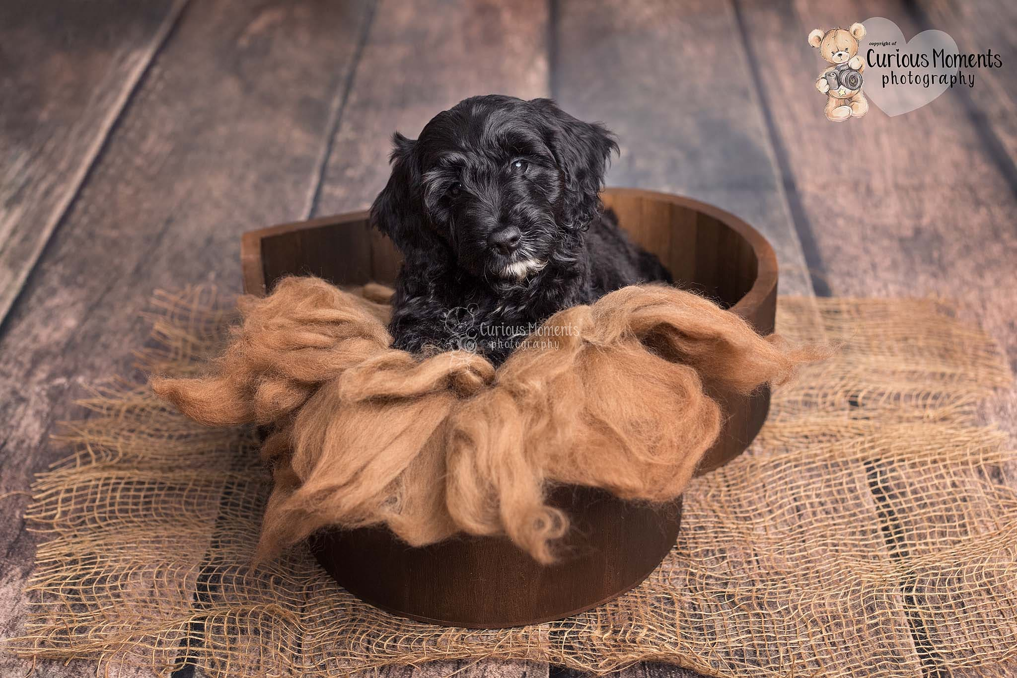 Photo of black sprocker puppy in a heart bowl