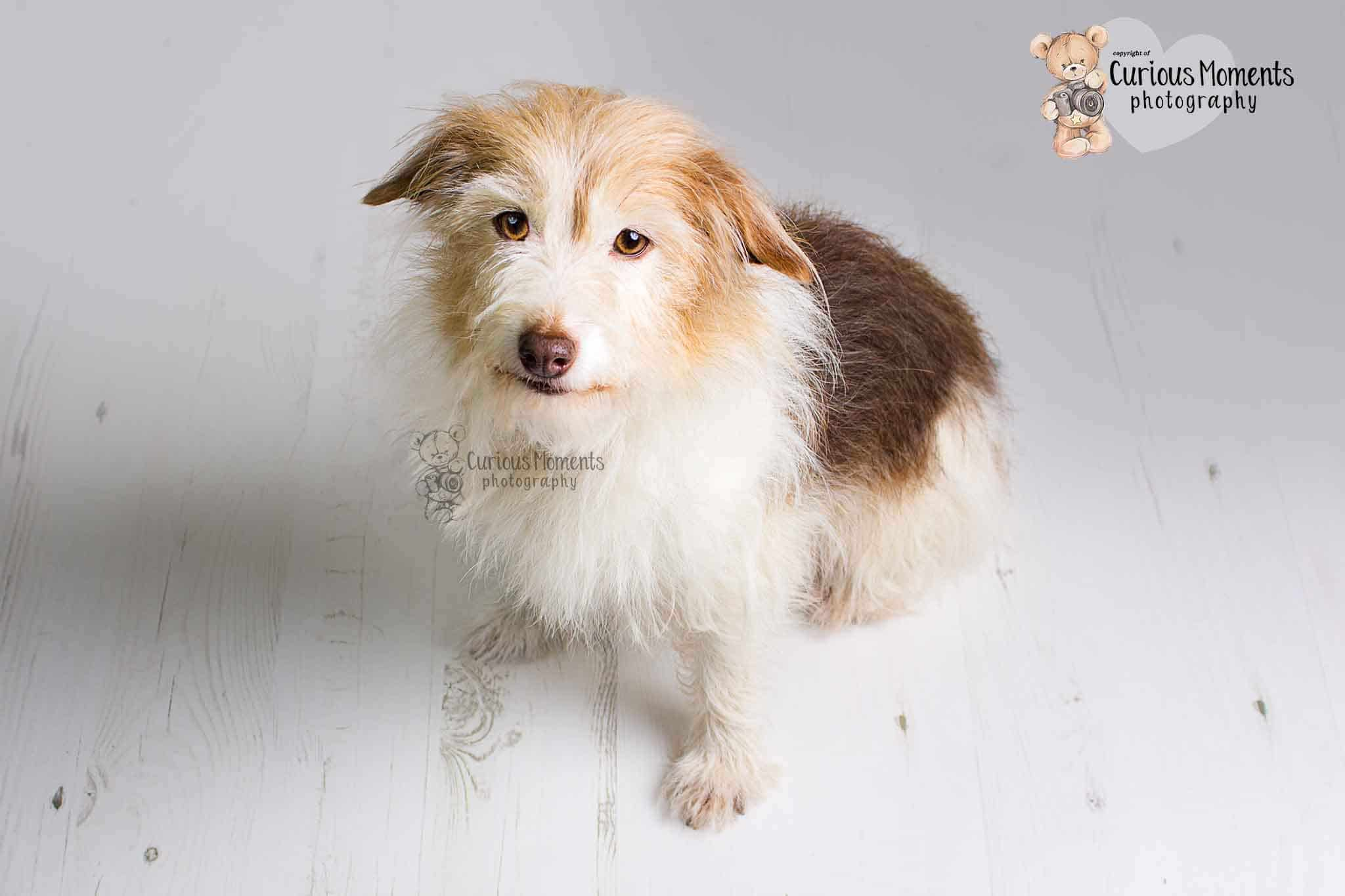 Long haired jack russel sat on white wooden background during photoshoot